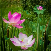 Cat Tails and Lotus Blossoms