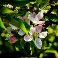 Early Apple Blossoms