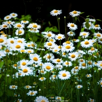 Wild Mountain Daisies